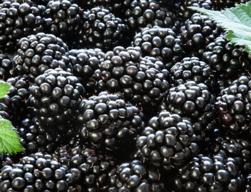 How to Commercially Grow Blackberries
